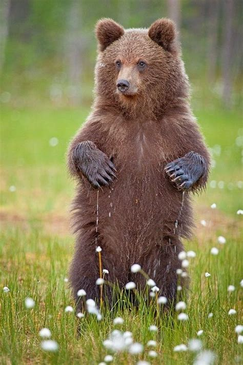 Wet Paws by Brett Lewis Young European Brown bear standing